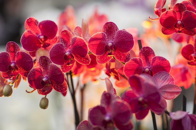 Orchidea dell'Angelo Custode