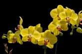 Orchidea dell'Amore