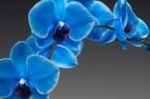Orchidea di Venere