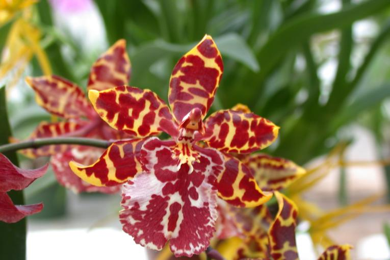 Orchidee_07