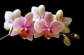 Orchidea della Psiche