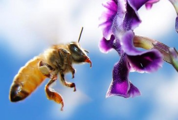 Il Polline