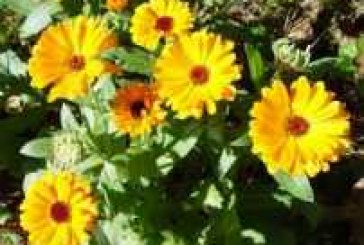 Olio Floreale di Calendula
