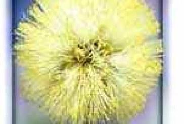 Sunshine Wattle