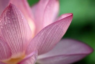 Il potere curativo dei petali di rosa