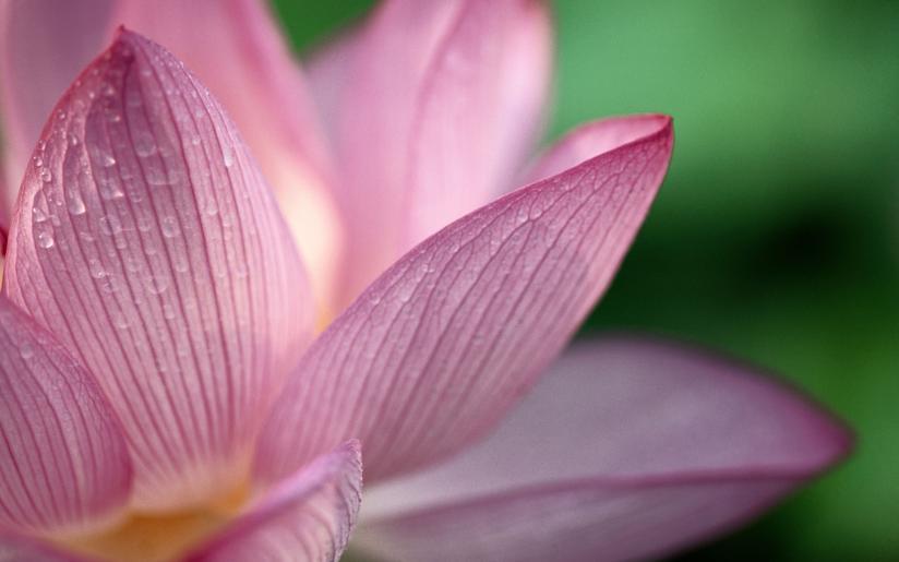 petali di rosa